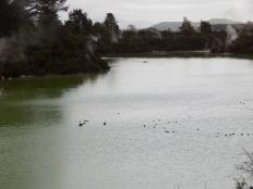 черные лебеди и утки на зеленой воде терминального озера