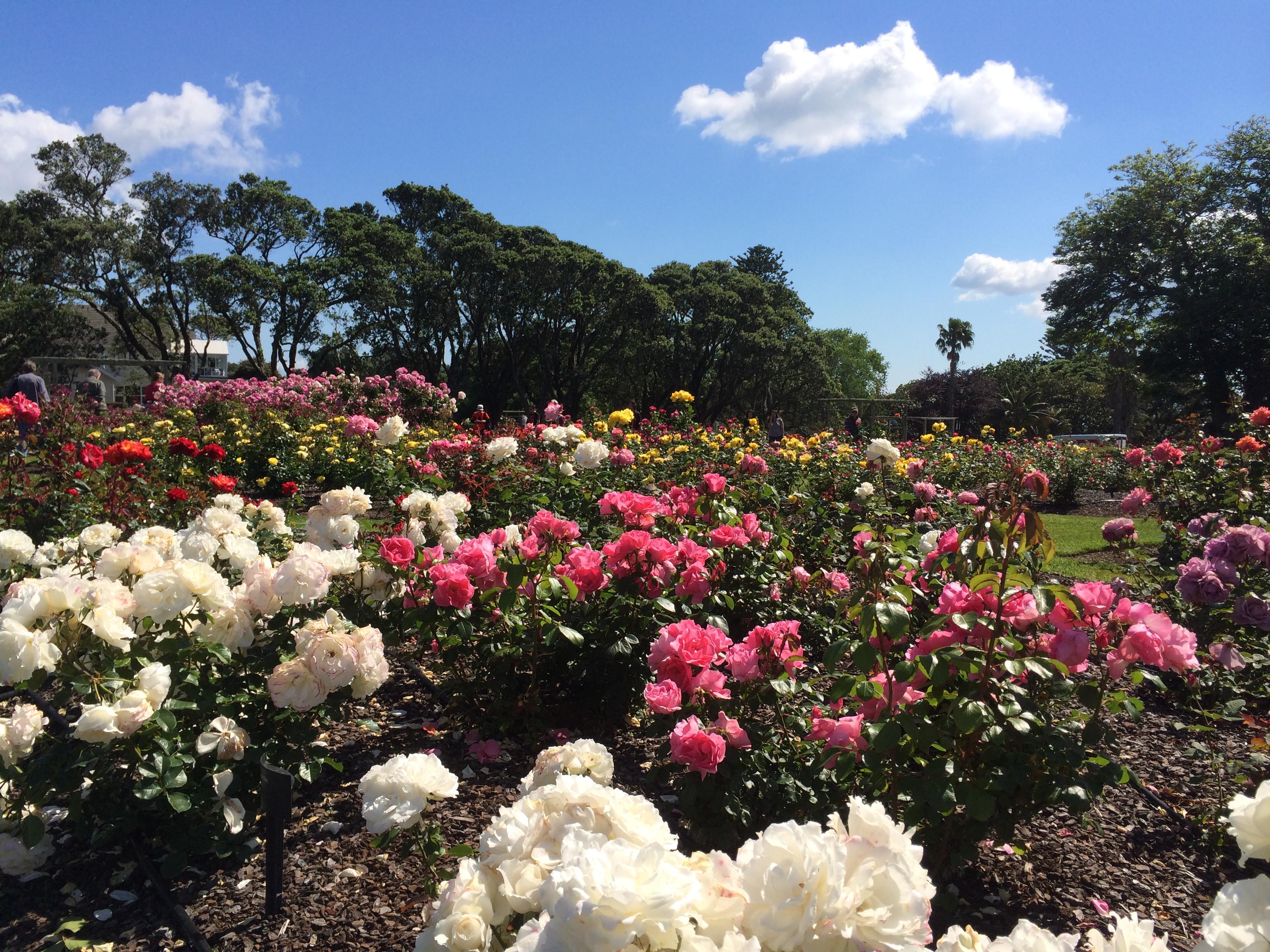 Розовые сады Окленда